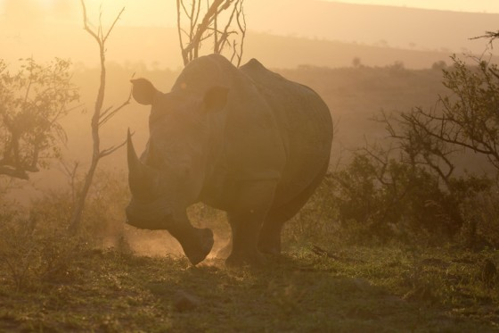 White rhinoceros, Diceros simus, single mammal,  South Africa, August 2016